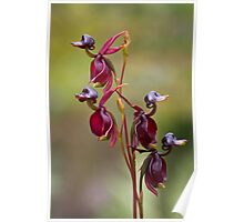 Duck Orchids Poster