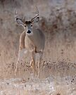 whitetail buck #027 by Rodney55