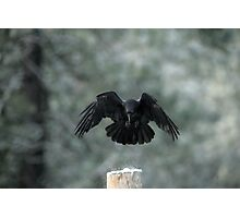 Common Raven Photographic Print