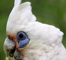 little Corella by Trish Threlfall