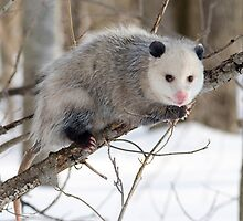 Random Patagonian Opossum by cute-wildlife
