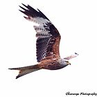 Red Kite 1 by Okavanga