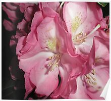 Rhododendron - Macro Poster
