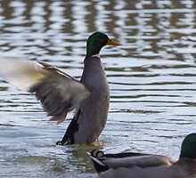 ducks are swimming in the lake by spetenfia