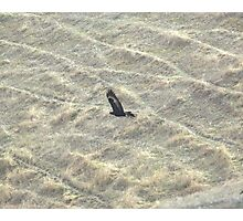 Wedge-Tailed Eagle Soaring Photographic Print