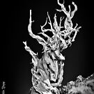 Bristlecone Pine tree a la Ansel by photo702