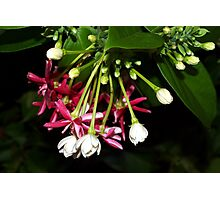 Flowers on a tropical vine Photographic Print