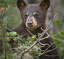 Black Bear Cub 0302 by Randall Nyhof