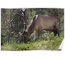 Yellowstone Elk 0203 Poster