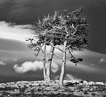 Glacier National Park Trees by Randall Nyhof