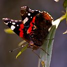 Red Admiral - Welney by evilcat