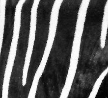 Zebra - Best viewed larger by kutayk