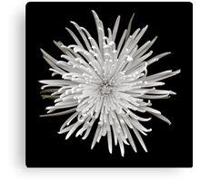 Monochrome spider chrysanthemum blossom Canvas Print