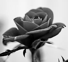 Red Rose in B&W by AnnDixon