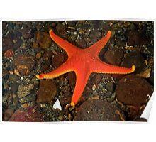Vermilion Sea Star Poster