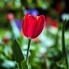 Tasmania Tulip by BRogers