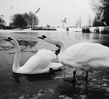 Apex Swans by Mjay