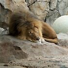 Cat Nap- Milwaukee County Zoo by Ann Allerup