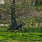 Sandhill crane chick and mom by sandhill