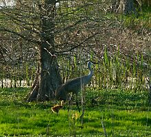 Sandhill crane chick and mom by sandhill