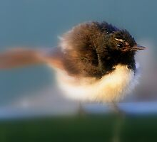 Willy Wagtail by bobby1