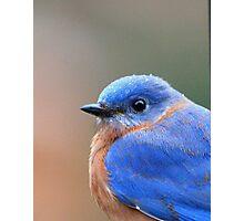 Eastern Bluebird Photographic Print