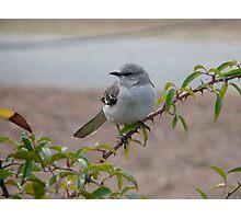Mockingbird Reed Bingham State Park Photographic Print