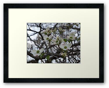 The Dogwoods of Spring by Ann Allerup