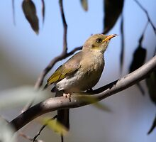 At the waterhole ... Fuscous Honeyeater by mosaicavenues