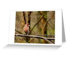 House Finch on a stick Greeting Card