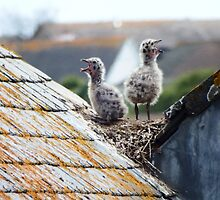 Young Seagulls by Deb Vincent