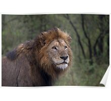 Lion on the Alert Poster