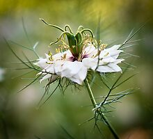 Love in a Mist by ScottH