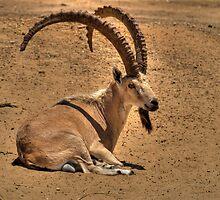 The Nubian ibex (Capra ibex nubiana) by Aler