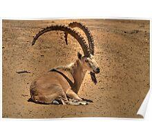 The Nubian ibex (Capra ibex nubiana) Poster
