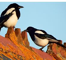 Magpies on a roof  by Deb Vincent