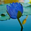 True Blue water lilly by Andrew Bodycoat