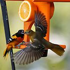 Orioles fighting over the feeder by Dennis Cheeseman