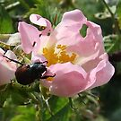 Beetle Breakfasting on a Dog rose flower!! by poohsmate