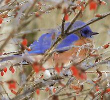 Eastern Bluebird - Greeting Card  by Marcia Rubin