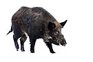 Wild Boar by Jim Cumming