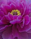 Dark Magenta Peony by Chris Lord