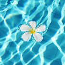 Frangipani flower in the swimming pool by Bruno Beach
