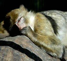 Sleeping Monkey by Willem Hoekstra