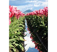 Pink Tulips in Skagit Valley Photographic Print
