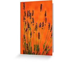 Lavenders at Sunset in Provence, FRANCE Greeting Card