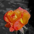 Another Summer Rose by Dorothy Thomson