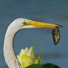 Great Egret by photosbyjoe