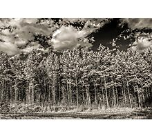 Pine Forest: January Photographic Print