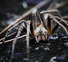 Spider  by marvinvantonder